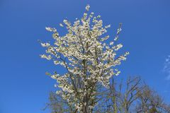 verger Arbre pur de Cherry Flowers Blooming With Leafless photographie stock