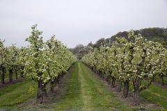 Verger avec de bas arbres de floraison de tronc de pomme Photos stock