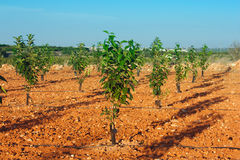 Verger avec de jeunes arbres de kaki Photographie stock libre de droits