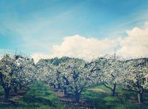 Verger avec des arbres en fleur avec des effets d'Instagram photos stock