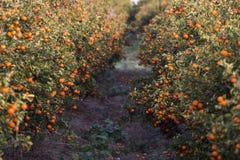 Verger d'arbre orange Photos stock