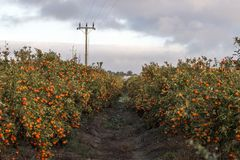 Verger d'arbre orange Image stock