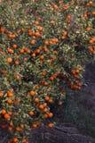 Verger d'arbre orange Images stock