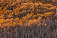Verger d'Aspen avec les feuilles oranges lumineuses Photo stock