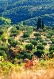 Verger d'olivier sur le flanc de coteau grec image stock