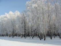 Verger de bouleau d'hiver Photographie stock