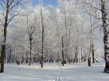 Verger de bouleau d'hiver Photo stock
