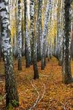 Verger de bouleau en automne Photo libre de droits