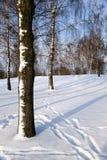 Verger de bouleau en hiver Photo libre de droits