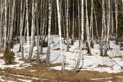 Verger de bouleau en hiver Photos stock