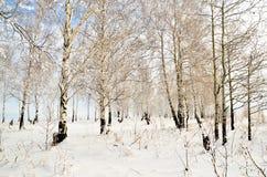 Verger de bouleau en hiver Images stock