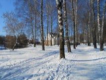 Verger de bouleaux pendant l'hiver images stock