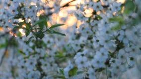 Verger de cerise de floraison contre le Soleil Levant banque de vidéos