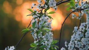 Verger de cerise de floraison sur le fond du Soleil Levant banque de vidéos
