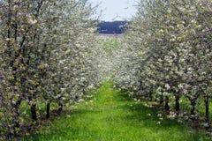 Verger de fleur de cerisier avec l'arbre éloigné, paysage tchèque Photos libres de droits