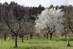 Verger de floraison d'arbre au printemps Photographie stock libre de droits