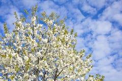 Verger de floraison sur un fond de ciel bleu avec les nuages blancs Photographie stock