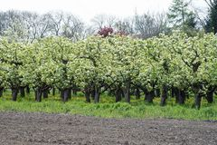 Verger de fruit en fleur avec les pissenlits jaunes dessous photos stock