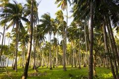 Verger de noix de coco Photographie stock libre de droits