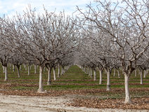 Verger de noix en hiver Photographie stock libre de droits