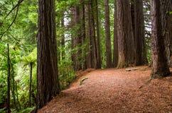 Verger de séquoia en ressorts de Hamurana Photographie stock libre de droits