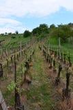 Verger de vigne, République Tchèque Photographie stock libre de droits