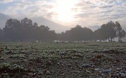 Verger des arbres dans la brume de matin Photo stock