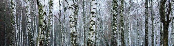Verger des arbres de bouleau en hiver Photo stock