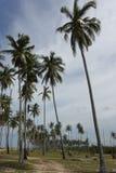 Verger des arbres de noix de coco photo stock