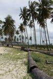 Verger des arbres de noix de coco image stock