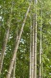 Verger en bambou, fond vert naturel de forêt en bambou Images stock
