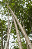 Verger en bambou, fond vert naturel de forêt en bambou Image stock