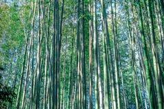 Verger en bambou vert, texture en bambou de concept de fond du Japon de forêt Images libres de droits