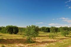 Verger olive en Tunisie Image libre de droits