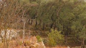 Verger olive sur le flanc de montagne banque de vidéos