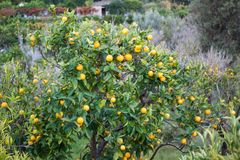 Verger orange avec l'élevage de fruits dans le village de Biniaraix près de Soller Vallée de Soller, Majorca Image libre de droits