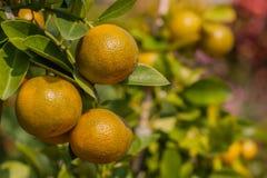 Verger orange d'arbre fruitier Photographie stock