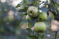 Vergers, arbres fruitiers, pommes vertes sur la branche Photographie stock libre de droits