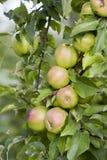 Vergers, arbres fruitiers, pommes vertes sur la branche Photo libre de droits