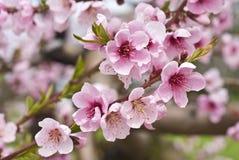 Vergers de cerise au printemps Image stock