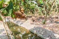 Vergers de Longan - longan de fruits tropicaux Image stock