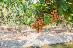 Vergers de Longan - longan de fruits tropicaux Photos stock