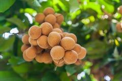 Vergers de Longan - longan de fruits tropicaux Photo stock