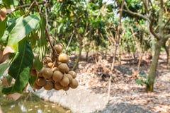 Vergers de Longan - longan de fruits tropicaux Photographie stock libre de droits