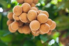 Vergers de Longan - longan de fruits tropicaux Images libres de droits