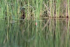 Vergessen, Bobber in den Gräsern fischend stockbild