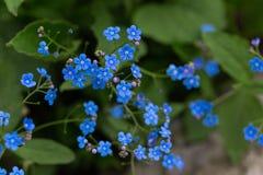 Vergessen Sie mich nicht Blumen lizenzfreie stockfotografie