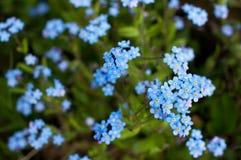 Vergessen Sie mich nicht Blumen Stockbild
