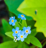 Vergessen Sie mich nicht Blumen Stockfotografie