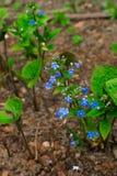 Vergessen Sie mich nicht, kleine blaue Blumen und grüne Blätter, Blumenhintergrund stockfoto